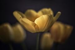 Tulipan (cruzjimnezgmez) Tags: jardín primavera naturaleza natural tulipanamarillo amarillo bulbosa bulbos flor petalos tulipan