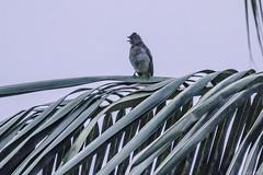 APALIS  DI SHARPE (Ezio Donati is ) Tags: uccelli birds animali animals natura nature alberi trees cielo sky africa costadavorio abidjan westafrica