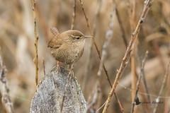 Chochín (Troglodytes troglodytes) (jsnchezyage) Tags: chochín troglodytestroglodytes ave pájaro bird birding birdwatching ornithology beak feather wren