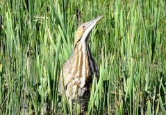 Hiding in Plain Sight (Patricia Henschen) Tags: alamosa alamosanationalwildliferefuge colorado nationalwildliferefuge sanluisvalley wetland bird americanbittern bittern american