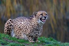 Papa Gepard (Mel.Rick) Tags: zoo tiere animals natur nature raubtiere carnivora raubkatzen grosundkleinkatzen kleinkatzen gepard acinonyxjubatus allwetterzoomünster säugetiere mammals