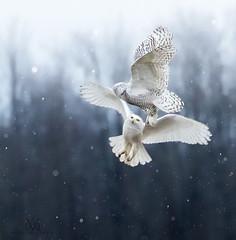 squabbling snowys (marianna armata) Tags: 3c8a0467 snowyowl fight midair flying airborne squabble snow ontario mariannaarmata owl