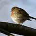Robin in the winter dress (orti62) Tags: nikond500 nikon robin rotkehlchen vögel vogel birds