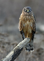 I'll pose for you but I'm not going to smile!! (Snixy_85) Tags: harrier northernharrier circushudsonius