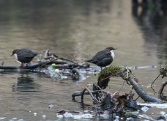 Dippers-9524 (seandarcy2) Tags: birds river dippers parkend uk handheld wild wildlife