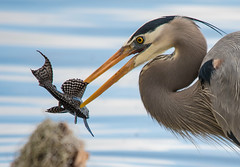 Lucky Catch (ap0013) Tags: bird fish eating swamp nature wildlife animal science florida greatblueheron heron