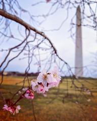 spring already? (ekelly80) Tags: dc washingtondc winter january2019 nationalmall washingtonmonument cherryblossoms spring flowers pink confused