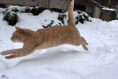 Flying Brad Pitt ❅❅❅ (Xena*best friend*) Tags: bradpitt bp lightfooted fllyingcats gingercats cats whiskers feline katzen gatto gato chats furry fur pussycat feral tiger pets kittens kitty animals piedmontitaly piemonte canoneos760d italy wood woods wildanimals wild paws calico markings ©allrightsreserved purr digitalrebelt6s efs18135mm flickr outdoor animal pet photo nature winter cold catlover snow frozen freezing winterwonderland ilovewinter ilovesnow catsinthesnow catshavingfuninthesnow wonderfulwinter snowcat
