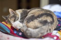A9__DSC3115_C1 (Bazoka+Cynthia) Tags: pupu 小婆 新北市 樹林區 貓 cat