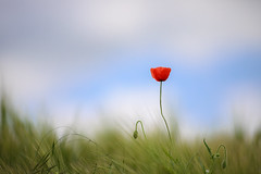 It's all about elegance (chtimageur) Tags: fleur champs poppy cocolico red green blue landscape dof summer canon 6d mark ii canon135f20l