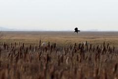 Marsh Harrier (Roy Lowry) Tags: riverdee burtonpoint marshharrier circusaeruginosus flightshot