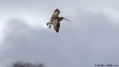 drifting on the breeze (blackfox wildlife and nature imaging) Tags: nikon d300s sigma150600c birds burtonmerewetlands rspb wirral