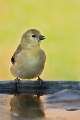 American Goldfinch  in the Backyard (jgaosb) Tags: american jaygao water winter bird bath grass goldfinch nature wildlife beautiful interesting lovely best most famous single adorable romantic cute drink backyard eating pleasure