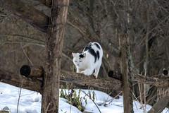Richard Gere On The Paddock Fence ❅ (Xena*best friend*) Tags: richardgere rg cats whiskers feline katzen gatto gato chats furry fur pussycat feral tiger pets kittens kitty animals piedmontitaly piemonte canoneos760d italy wood woods wildanimals wild paws calico markings ©allrightsreserved purr digitalrebelt6s efs18135mm flickr outdoor animal pet photo nature winter cold catlover snow frozen freezing winterwonderland ilovewinter ilovesnow catsinthesnow catshavingfuninthesnow wonderfulwinter snowcat