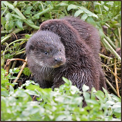 Two Otter Cubs (image 3 of 3) (Full Moon Images) Tags: wildlife nature animal mammal two wild otter cubs