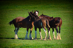 Socializing (PhotosLogos by Julia Byl) Tags: farm horse clydesdale field grass animal nature landscape