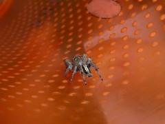 Psychedelic Spid (tessab101) Tags: jumping spider salticidae arachnid macro arthropod nsw australia blue mountains