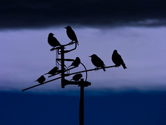 I Am Glad They Have Not Got Cable TV (Steve Taylor (Photography)) Tags: aerial cable minimalist minimalism bird starling sparrow black blue contrast newzealand nz southisland canterbury christchurch northnewbrighton silhouette dusk twilight winter