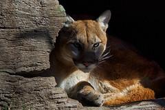 ever vigilant (ucumari photography) Tags: ucumariphotography cougar puma catamount mountainlion animal mammal north carolina nc zoo february 2019 dsc7909 specanimal