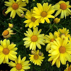Daisies in the sun Is it Spring yet? I have planted — or tried to plant — daises like this in the past, but they don't seem to like the environment here in the garden — either in the ground or in pots. So, like many plants and flowers, I will admire them (dewelch) Tags: