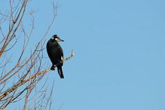 Phalacrocorax carbo (Great cormorant, Grand cormoran) (Sophie Giriens) Tags: phalacrocorax carbo grand cormoran great cormorant plumage nuptial breeding season