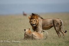 Mating Lions (mayekarulhas) Tags: lions mating masai mara africa safari canon500mm canon1dxmark2 carnivores