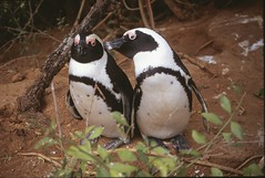 Nibble (David K. Edwards) Tags: penguin jackass african bouldersbeach capetown mating play africa southafrica