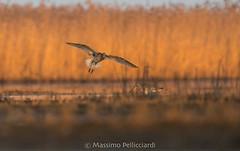 Chiurlo maggiore (Massimo Tiga Pellicciardi) Tags: valli di comacchio delta del po unesco sdraiato terra wild wildwild tramonto sunset rise acqua arancio orange canneto canna