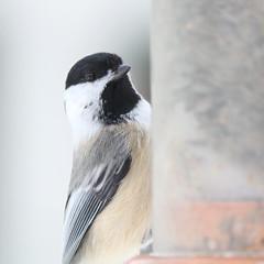 063. Chickadee (Misty Garrick) Tags: arboretum universityofminnesotalandscapearboretum landscapearboretum flowershow bird birds birding