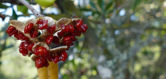 FRUITS VERMELLS (Joan Biarnés) Tags: llafranc macro fardesantsebastià palafrugell fruitsvermells 285 panasonicfz1000 costabrava baixempordà