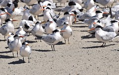 Looking every which way (MJ Harbey) Tags: bird royaltern mosslanding california usa sand birds tern laridae animalia aves charadriiformes thalasseusmaximus nikon d3300 nikond3300