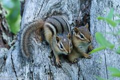 Chipmunk Pair (dglsbrwnsr) Tags: chipmunk minnesota animal brown cute den hole mammal pair together