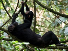 A Precious Moment (iamfisheye) Tags: chimp olympus chimpanzee omd mahale 32gb ape elmarit sandisk vario lens zuiko ourclosestrelative oly03 zd tanzaniaoctober2018 50200mm nomadtanzania swtnz2018 greystokes greatape kit em12 leicadg50200f2840 camera