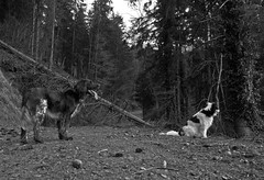 BEN(NY) & PHILETTA (LitterART) Tags: monochrome tiere animaux animals münsterländer dogs hunde chiens