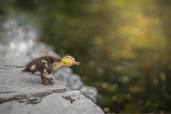 Shake It Off (CaseyCsaszar) Tags: duck duckling bird birds animal animals babyanimals cute sweet adorable lake pond swim water wildlife action movement gold golden goldenhour sunset magic magichour lighting light sharp art artistic fineart mothernature