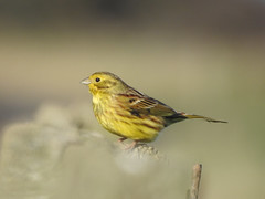 Yellowhammer (Emberiza citrinella) (Brian Carruthers-Dublin-Eire) Tags: yellowhammer passeriformes emberizidae emberizacitrinella bruantjaune goldammer escribanocerillo zigologiallo geelgors bird outdoor animal animalia aves avian benhead colouth ireland eíre irish countryside farm land farmland birdwatchireland birdwatch birdwatchfb birdwatching creature branches branch tree nature wildlife louth