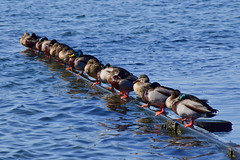 Just can't think of a title (James_D_Images) Tags: ducks line row ocean beach barrier diagonal resting water waves crescentbeach mallard pilings