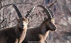 Duo (fauneetnature) Tags: ibex bouquetin animalier animal alpes alps animauxmontagne maurienne mountainanimals savoie faune naturephotography nature photonature photoanimalière animalsphotography wildlife wildlifephotography