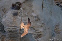 Falco della regina _013 (Rolando CRINITI) Tags: falco falcodellaregina uccelli uccello birds ornitologia avifauna rapaci carloforte lipu isoladisanpietro sardegna natura