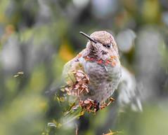 Interested. (Omygodtom) Tags: hummingbird annashummingbird wild wildlife bird bokeh nikon70300mmvrlens outside oregon usgs nature natural nikkor