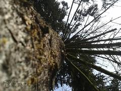 Świerk (Wizard Ancient) Tags: tree spruce cork conifer bark