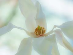 Virgin White. (Omygodtom) Tags: flower flora white virgin nature natural tamron texture tamron90mm macro soft bokeh selectivefocus pov