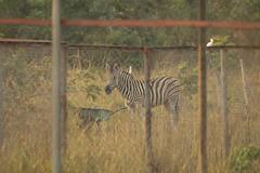 A long way from home plains Zebra Shai Hills Resource Reserve in Ghana (inyathi) Tags: westafrica ghana africananimals plainszebras equusquagga shaihills shaihillsresourcereserve africanwildlife nationalpark africa