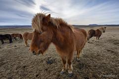 20190303_123226 Paardjes in IJsland (Travel4Two) Tags: 5000k adl3 c1 fec0 ijsland iceland s0 sc0069960 cold holiday vakantie winter