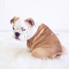 Penny's got a case of the Mondays 💕 (Michele Nicolette) Tags: ifttt instagram bulldog english bully dog cute