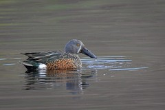Australasian Shoveler (njohn209) Tags: birds d500 nikon nz