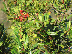 Rosaceae, Heteromeles arbutifolia, Toyon, Christmas Berry (aking1) Tags: christmasberry common heteromelesarbutifolia places rosaceae southruedacanyon toyon vascularplants sandiego california unitedstates us