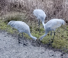 Sandhill Cranes (glenbodie) Tags: bodie catherinehurley glen glenbodie north40 reifel