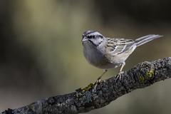Emberiza cia, Linnaeus, 1766 (jrosvic) Tags: sierraespuña hide nikond500 aves pájaros rockbunting emberizacia passeriformes emberizidae bird