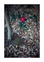 2018/12/15 - 6/21 photo by shin ikegami. - SONY ILCE‑7M2 / Voigtlander NOKTON CLASSIC 40mm f1.4 SC VM (shin ikegami) Tags: 山茶花 flower 花 macro マクロ 井の頭公園 吉祥寺 winter 冬 sony ilce7m2 sonyilce7m2 s7ii 40mm voigtlander nokton nokton40mmf14sc tokyo photo photographer 単焦点 iso800 ndfilter light shadow 自然 nature 玉ボケ bokeh depthoffield naturephotography art photography japan earth asia